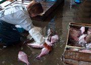 水津漁業組合にひらめの水揚げ