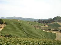 京都おぶぶ茶苑 茶畑