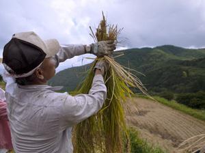 稲を束ねるツイスターマジック