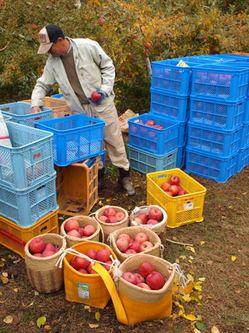 りんごの収穫風景