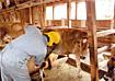 写真:牛の世話をする男性
